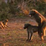 Opice provozující sex